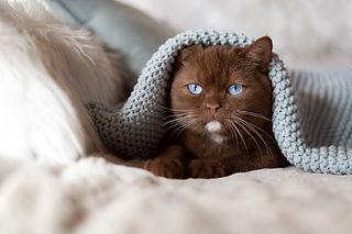 Cinnamon-blue-eyes