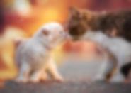 Britisch Kurzhaar, BKH, Zucht, Berlin, Züchter, Cattery Wabisabis, Kitten, BKH-Kitten, cinnamon, cinnamon tortie white, seriöse Zucht Berlin,