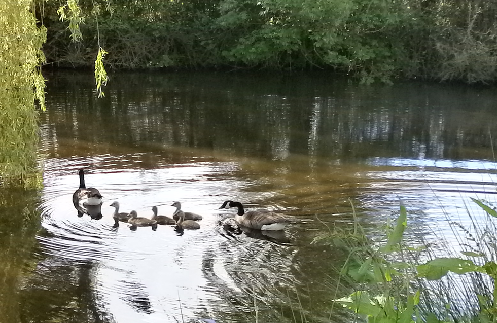 Canadian geese and gooslings in pond.png