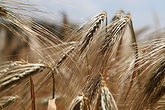 wheat-809441.jpg