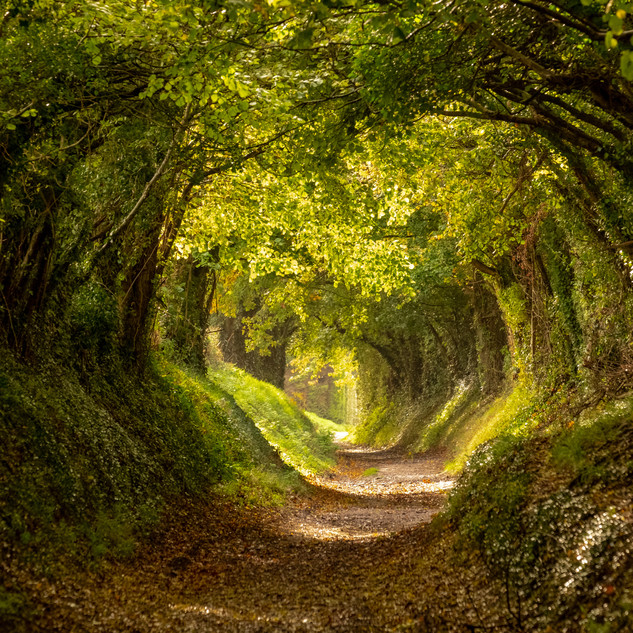 Halnaker tree tunnel, West Sussex, an an