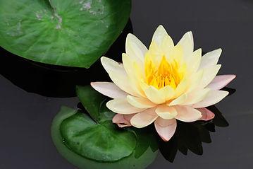 1280-454183685-lotus-flower.jpg