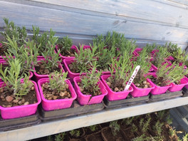 lavender seedlings