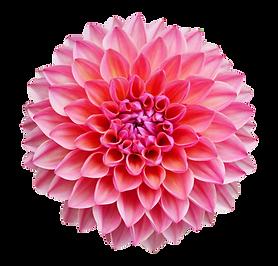 Dahlia Pink.png
