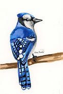 Blue Jay Ink Painting