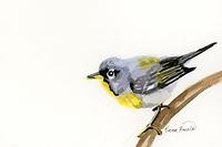 Northern Parula Warbler Ink Painting