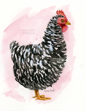 Barred Rooster