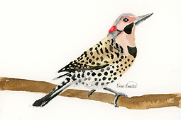 Northern Flicker Ink Painting