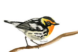 Blackburnian Warbler Ink Painting
