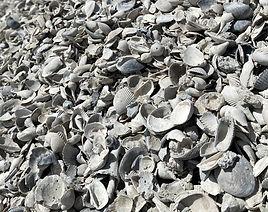 Bulk Washed Seashells.jpg