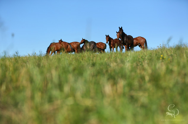 Groupe des mâles de 2 ans dans une immense parcelle, ça ne manque ni d'herbe ni de compagnie! Tout ça au calme, on m'observe alors que je suis en contrebas, derrière les herbes afin de les photographier...