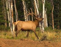 Elk Encounter 1_resized.jpg