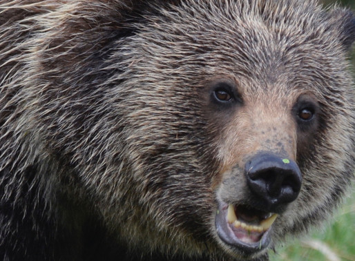 Grizzly Delisting Sent Back