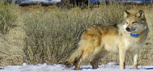 Mexican Wolves Continue Cattle Killing
