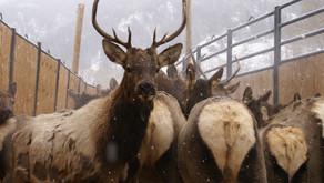 Elk Feedground Closure Arises Again