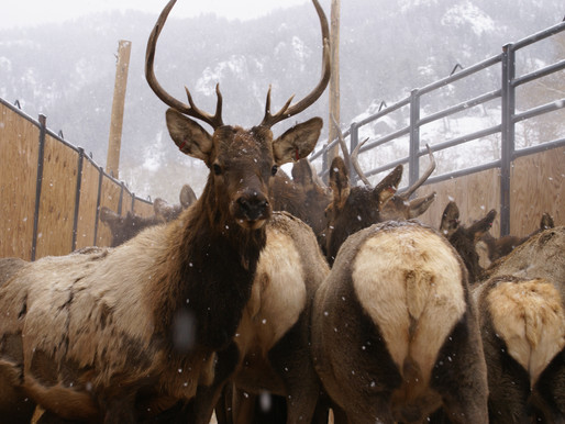 Elk Feedground Closure Arises Again