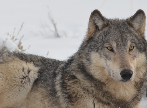 Inherited Aggression in Wolves