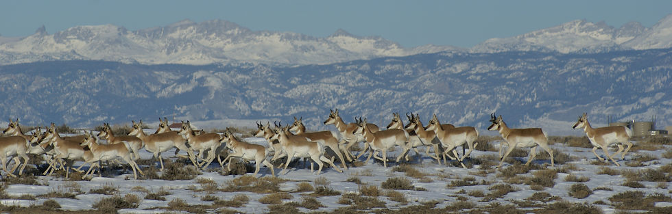 Pronghorn4 copy.JPG
