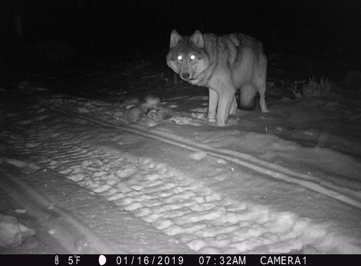 Wolves in Wyoming
