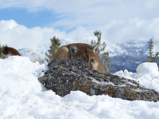 Plague in Wyoming Mountain Lions