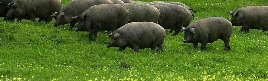 porco-preto-alentejano.jpg