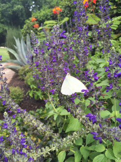 butterfly on mystic spires salvia