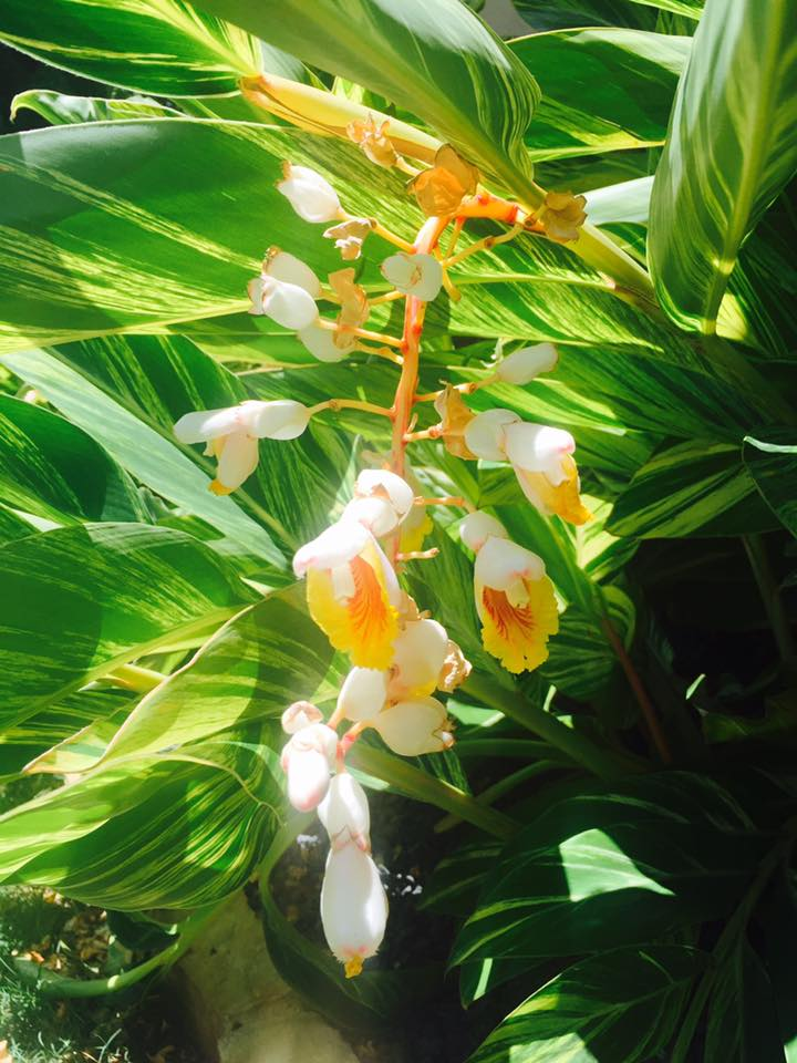 variegated ginger in flower