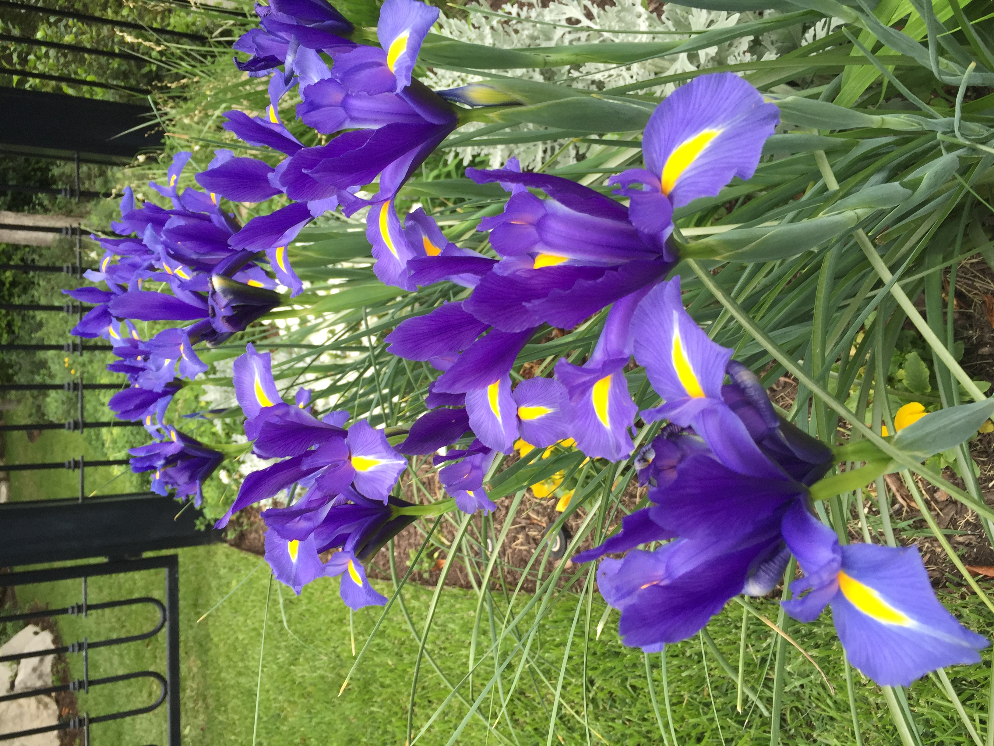 dutch iris are the first ones up