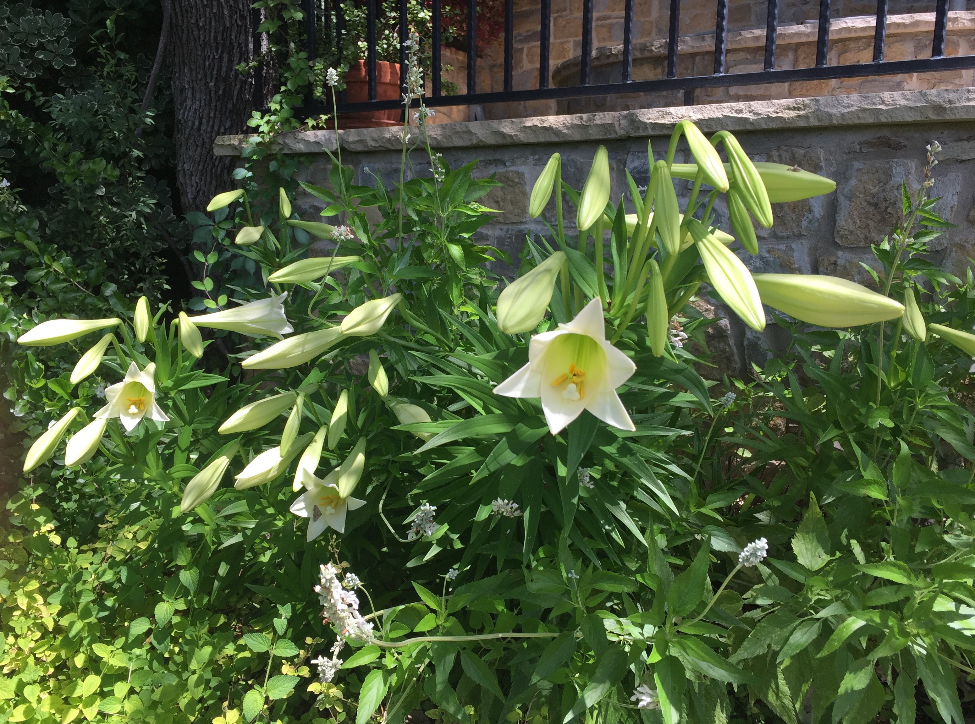 """easter"" lillies"