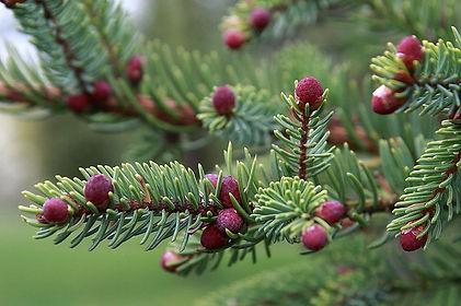 800px-Picea_mariana_pollen_cones.jpg