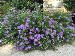 native fall aster