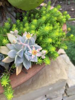 beautiful blooming succulent