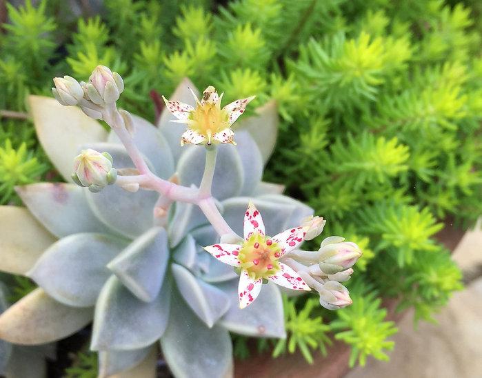 flowering ghost plant & mexican sedum