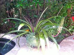 bromeliad blooming