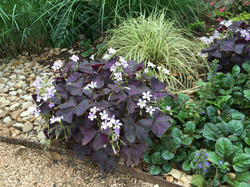 happy oxalis in the spring