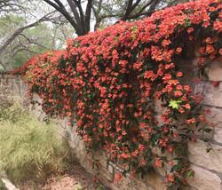 wall of crossvine