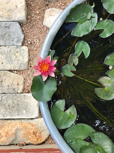 stock tank pond with blooming water lily