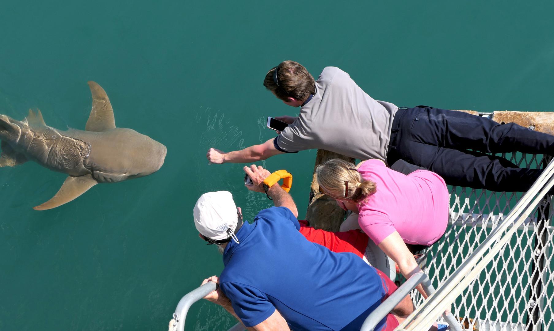 Talbot Bay Shark Feeding