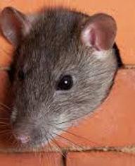 Rats - Expert 1.jpeg