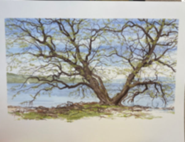 IMG_2725Old Willow, unsigned print, 18.7