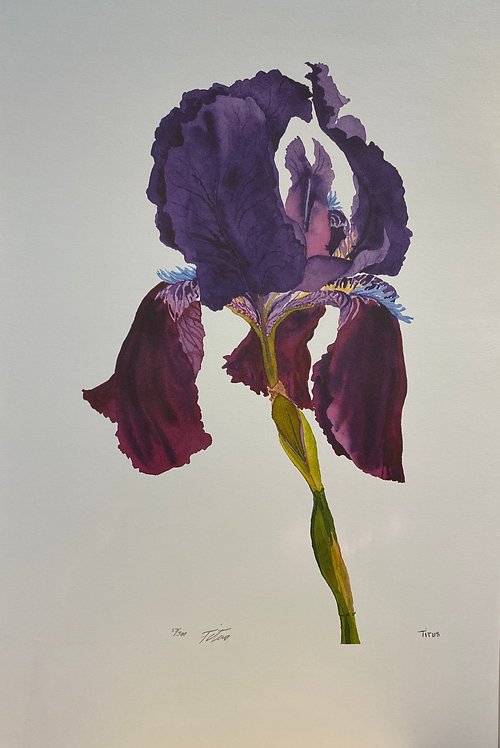 Purple Iris, Signed