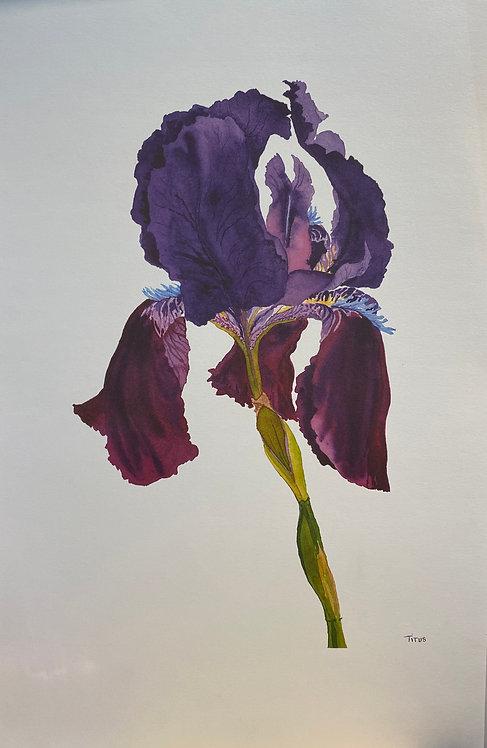 Purple Iris, Unsigned