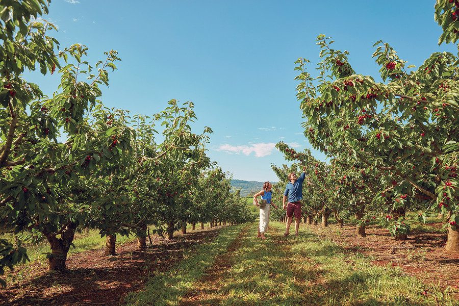 Borrodell Vineyard 2 Cherry Picking Wide