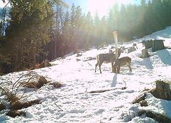 Rotwild Tier und Kalb amTag