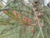 She Oak flowers