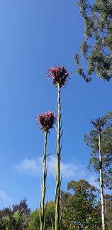 Gymea Lily sky high