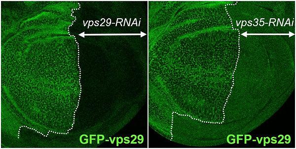 Cullenlab Drosophila CRISPR