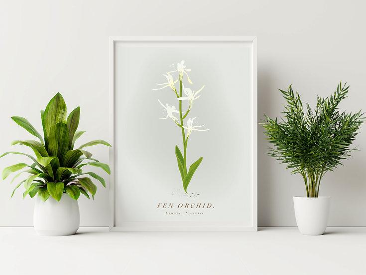 Norfolk Fen Orchid Botanical Illustration