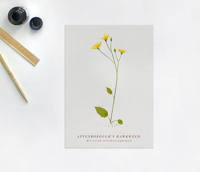 Attenborough's Hawkweed Postcard