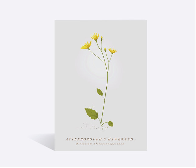Hawkweed Wildflower Greeting Card
